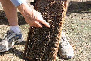 Bees on Keswick Island - Yarra Valley Accommodation