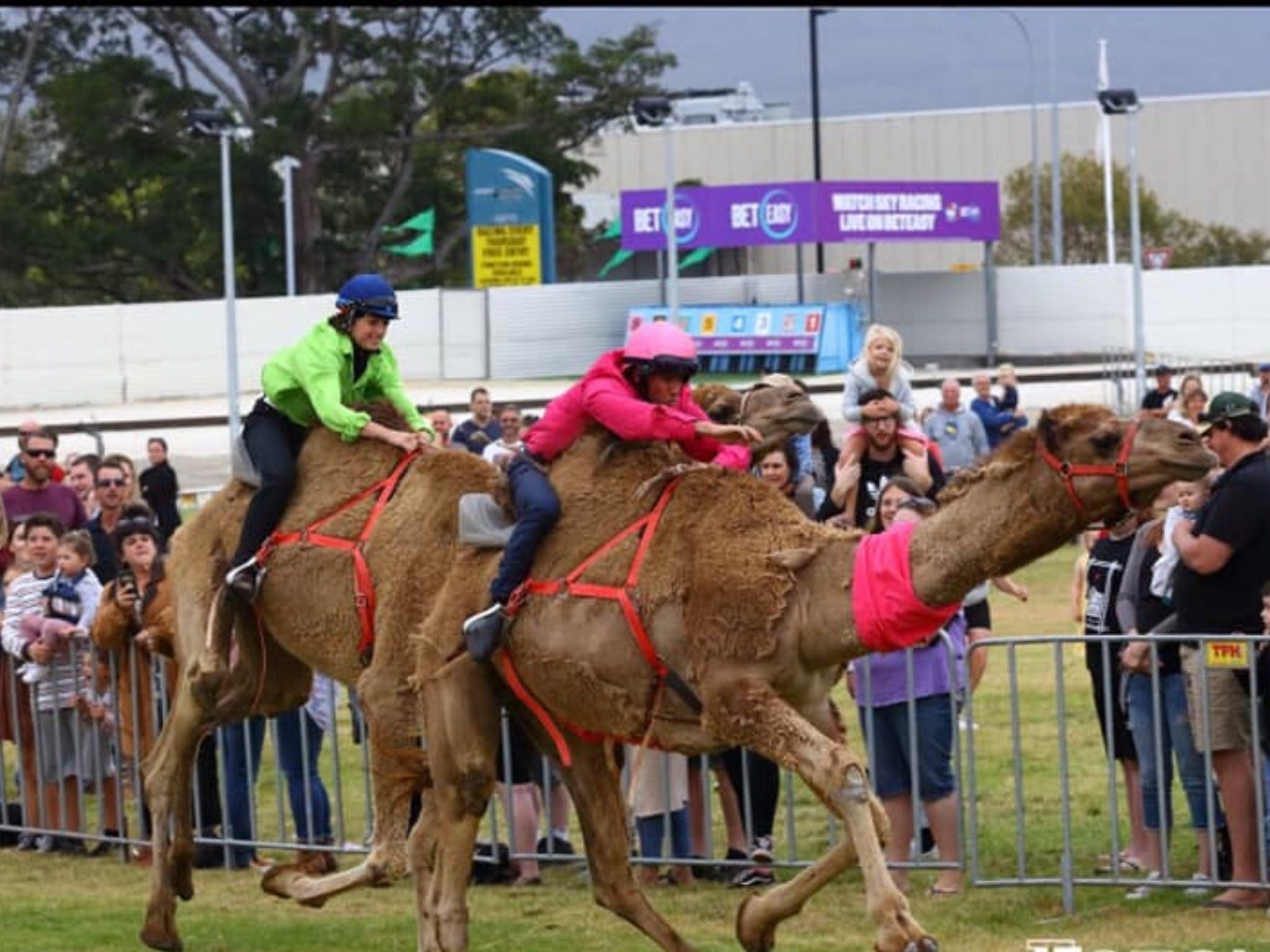 Camel Races at Gosford Showgrounds - Yarra Valley Accommodation
